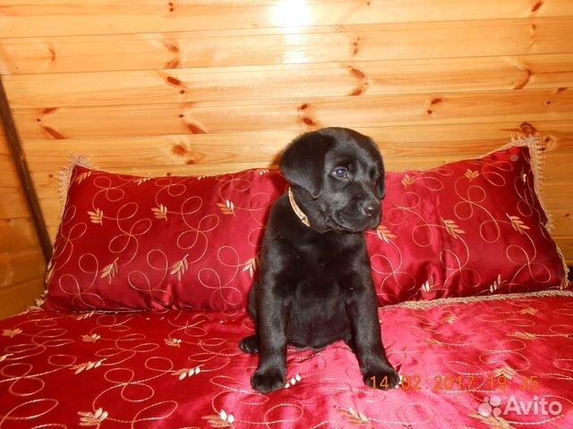 Labrador-retriever-kutya labrador retriever kutya