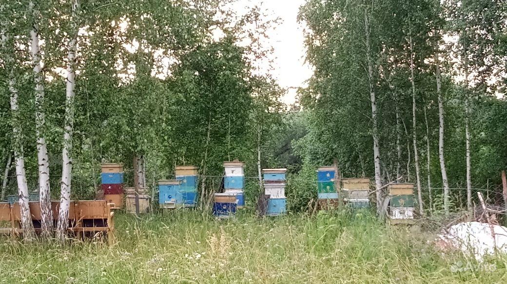 Пчелосемьи породы Карпатка