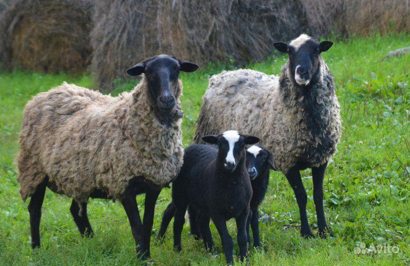 трудно дать романовские овцы фото сайте