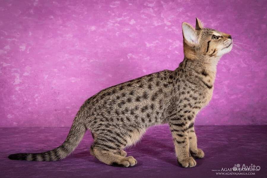 Котята саванна ф4 - фотография № 7