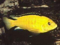 Рыба Цихлида-колибри