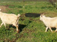 Корова. Коза дойная, зааненская