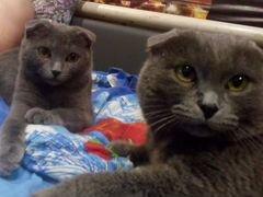 Продам британских вислоухих котят, три кота две ко