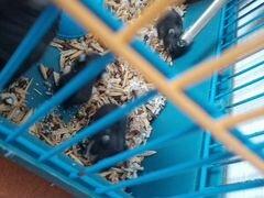 Джунгарский хомячки