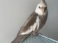 Попугай Безщекая Корелла