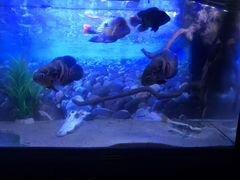 Рыбы цихлиды