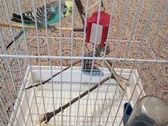 Продам волнистого попугая