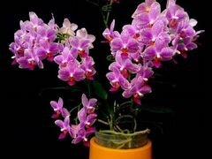 Орхидея мультифлора