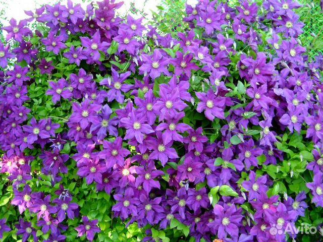 Где купить цветы-многолетники где купить голубые синие розы