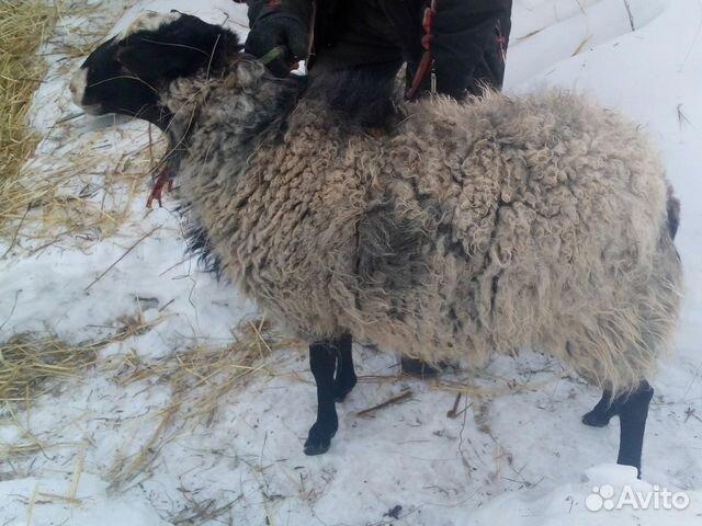 Венера Резорт купить овец в ростовской области вспыхнет света