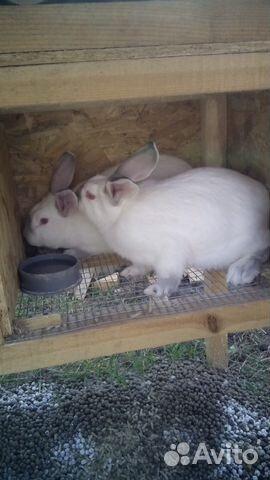 Кролик (калифорния) 89529637355 купить 1
