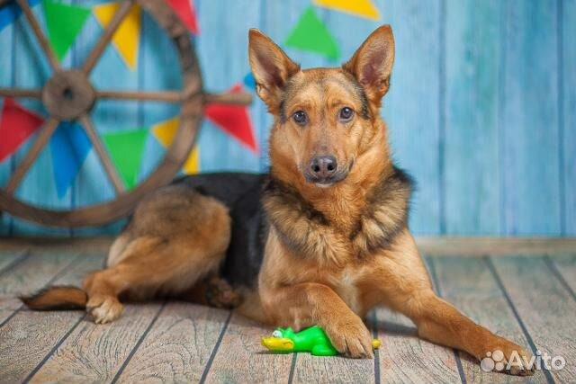 Овчаристый пёс Берти в добрые руки/ в дар купить на Зозу.ру - фотография № 4