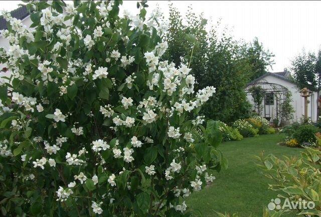 Чубушник венечный (садовый жасмин филадельф(и)