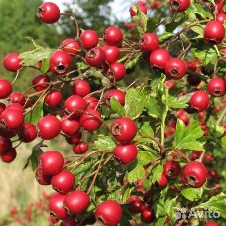 какие плоды боярышника