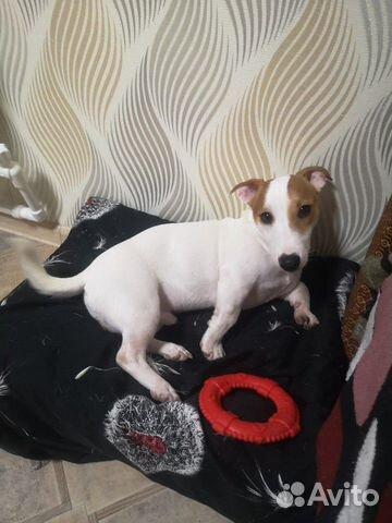 Собака Джек Рассел Терьер купить на Зозу.ру - фотография № 4