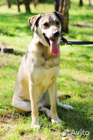 Пес красавчик Грей в добрые руки купить на Зозу.ру - фотография № 5