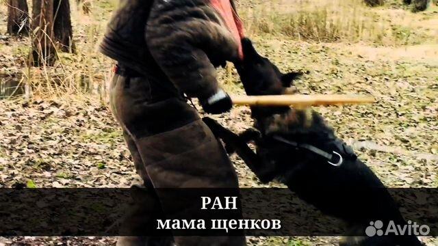Щенок немецких овчарок рабочего разведения купить на Зозу.ру - фотография № 6