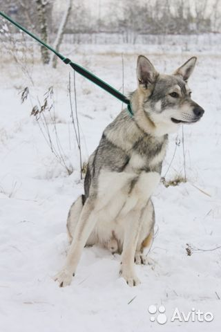Пёс компаньон в добрые руки купить на Зозу.ру - фотография № 7