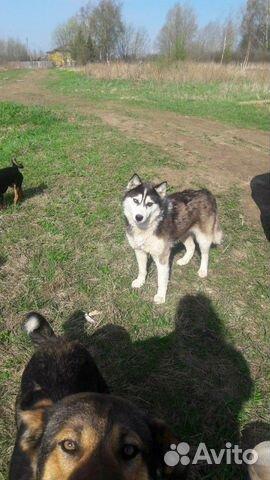 Собака 1,5-2 года 89502469168 купить 1