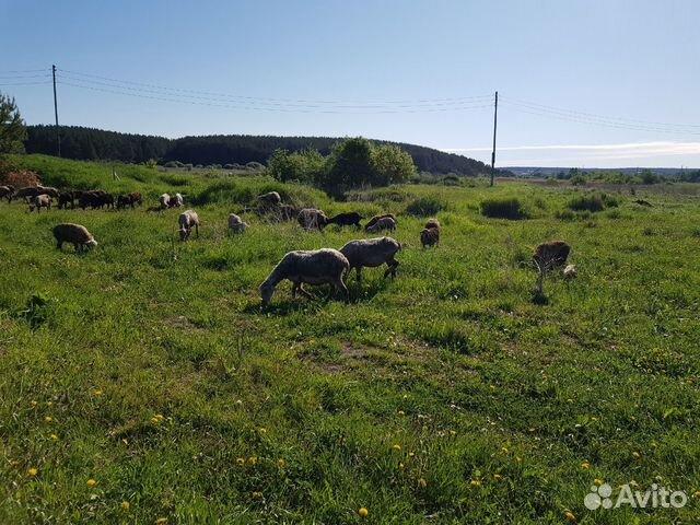 Продается баран овечка козы на мясо и живой