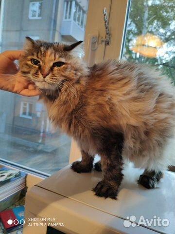 Сибирская кошка  89878041174 купить 3