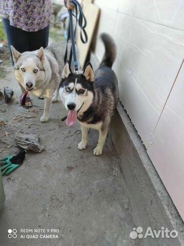 Found Husky  buy 2