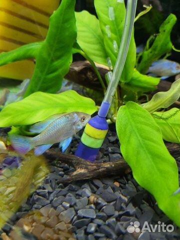 Поступление рыбы аквариумной  купить 7