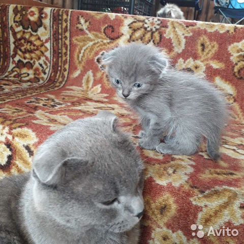 Отдадим котика в добрые руки,рядом папа лежит,куша  89236440790 купить 1