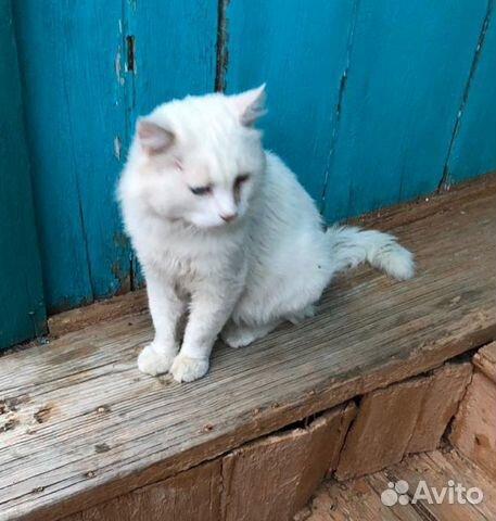 Белоснежный кот ищет любимого человека  89894404922 купить 2