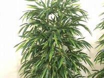 Бамбук пышный