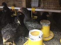 Цыпленок австралорп плимутрок 6 недель
