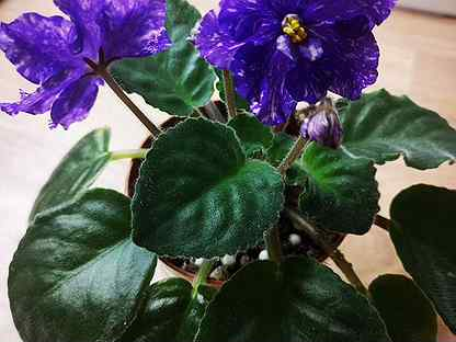 Сортовые фиалки цветущие почти все