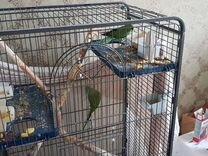 Ожереловые попугаи - мальчик и девочка с клеткой
