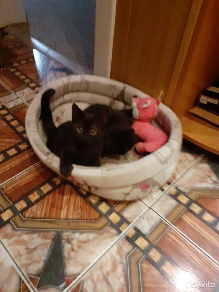 Чистокровные шотландские котята  89192207020 купить 2