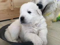 Продаются щенки Мареммо-абруццкой овчарки