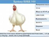 Бройлер цыплята кобб 500 Чехия