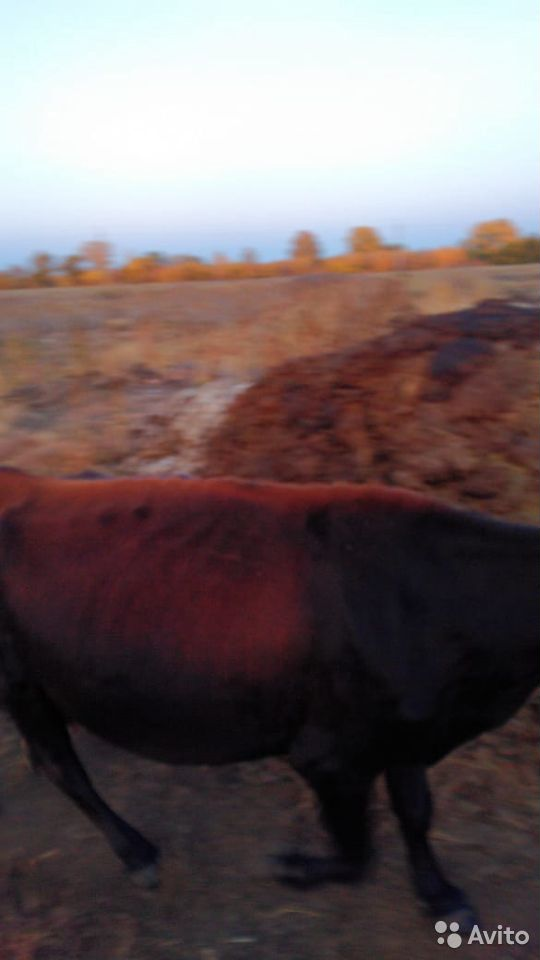 Корова  89878412238 купить 2