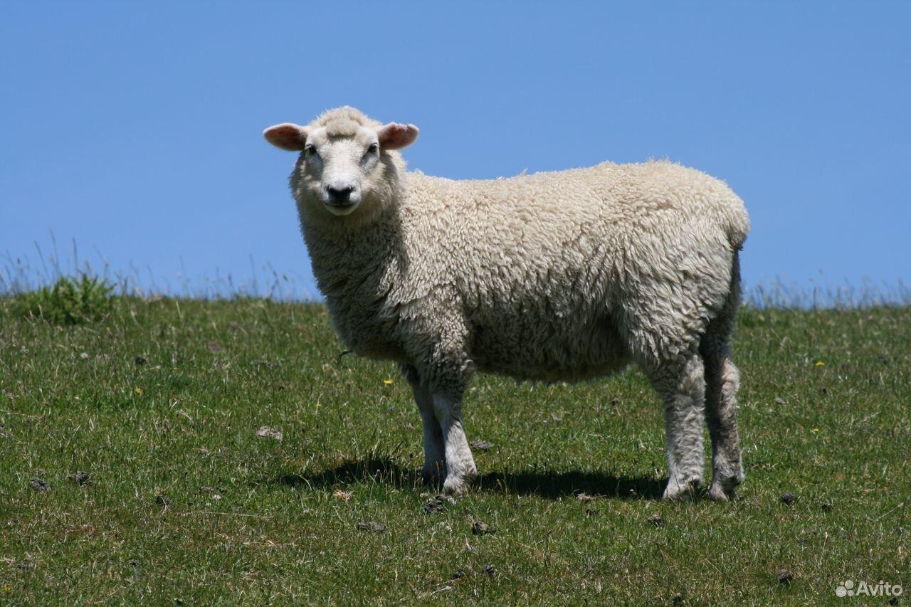 Продаются овцы на развод  89514044748 купить 1