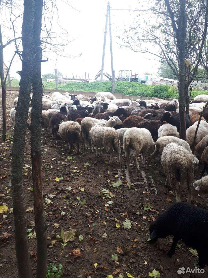 Овцы  89805776608 купить 5