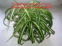Цветок Хлорофитум хохлатый