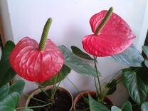 Антуриум, цветок «мужское счастье». Взрослые