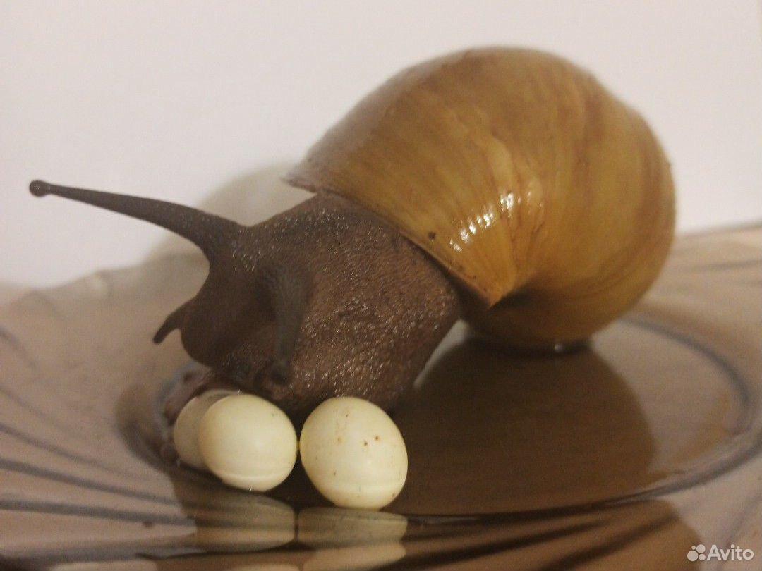 Яйца улиток архахатина Иктерик  89048809177 купить 3