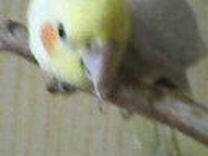 Попугай карела нимфа