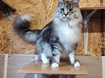 Взрослый Кот Мейн Кун